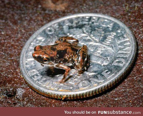 Froggo Fren #8 - Paedophryne amauensis