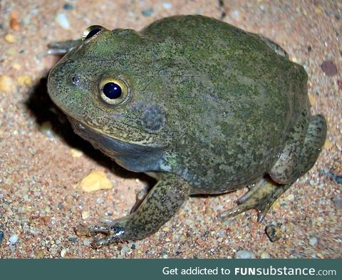 Froggo Fren #9 - Water-Holding Frog