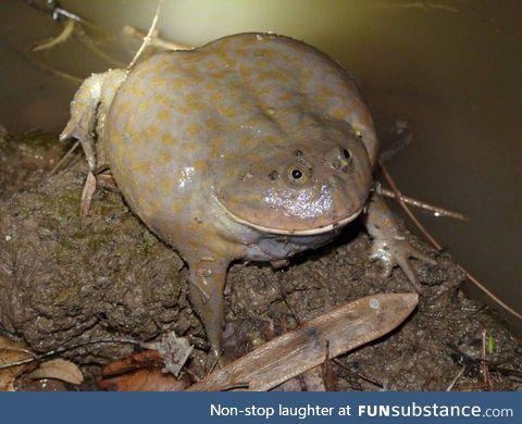 Froggo Fren #11 - Budgett's Frog