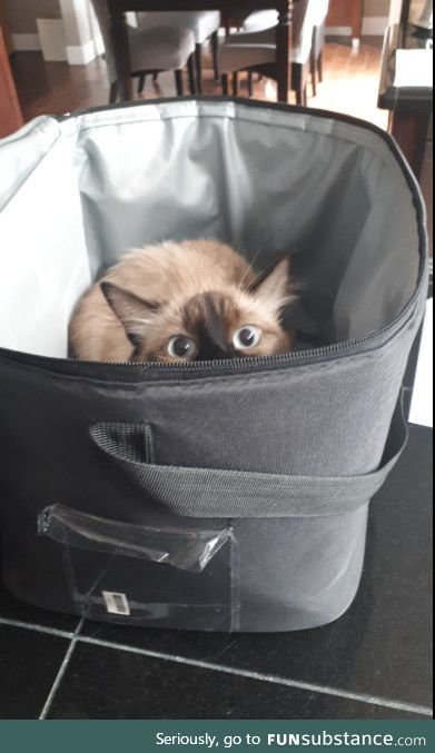 A friends cat when he was packing up for a road trip