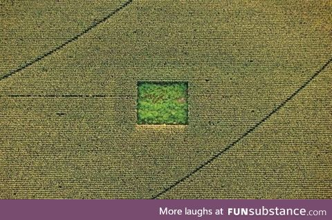 Cannabis garden in a cornfield