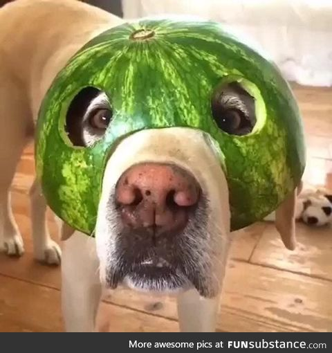 Helmet Dog #6