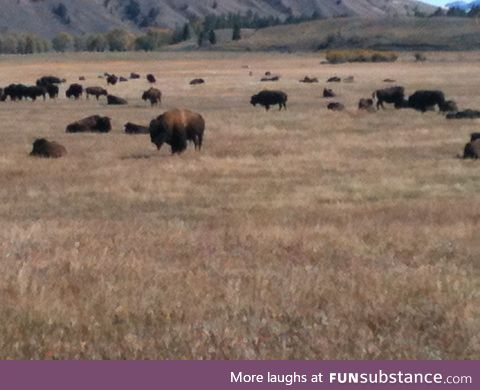 Pics from Wyoming part 2, the majestic buffalo.