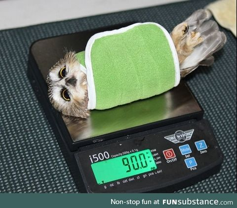 Owls being weighed