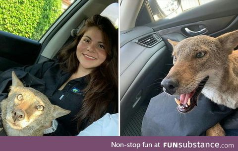 Woman in Mexico rescues an injured coyote from the road, thinking it was a dog