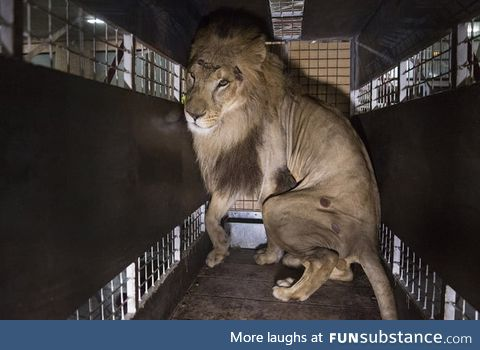 33 lions are rescued from circuses in Colombia and Peru and airlifted to the Emoya Big