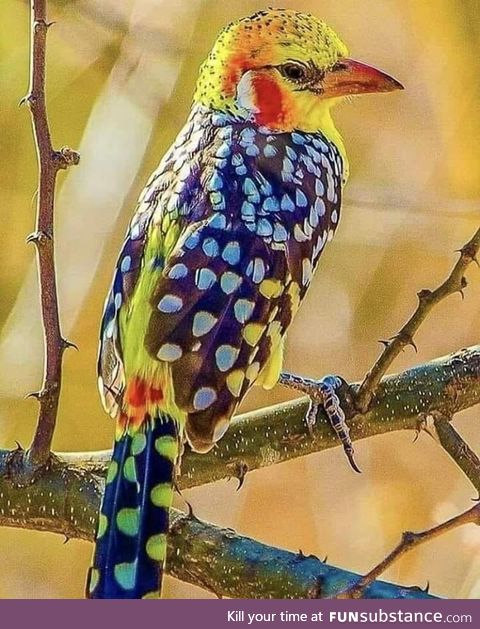 Red and Yellow barbet from Kenya