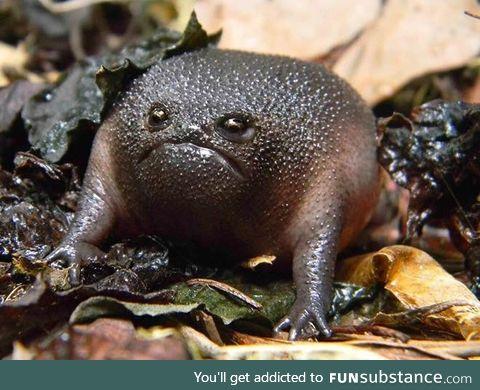 Meet Rain Frog: The World's Grumpiest Frog
