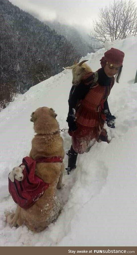 Girl carrying the mother goat who just gave birth through the snow while her dog is