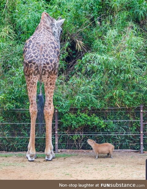 Have you ever seen a Capybara standing next to a Giraffe?
