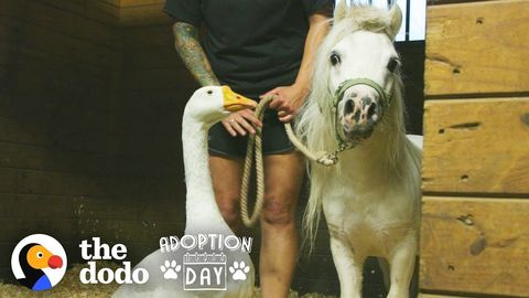 Rescued Goose and Mini-Horse are inseparable and get a new big brother (FeelGoodSubstance)