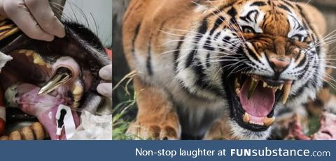 After an accident this tiger had his tooth replaced for a gold one