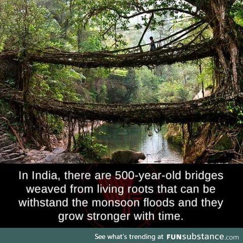 Indian root bridges