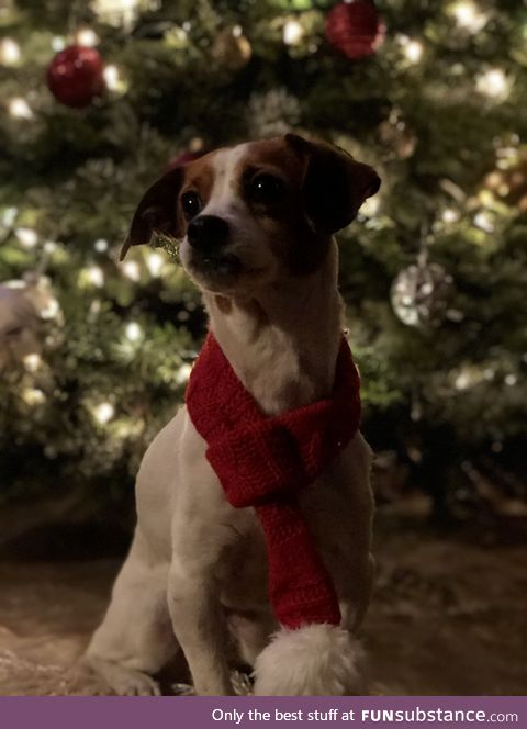 Daily Dose of Doggo #11 - Christmas Doggo (sorry it's a little late I know)