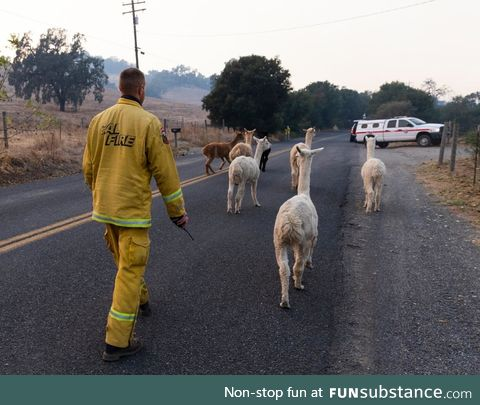 California firefighter herding a gaggle of Alpacas to safety
