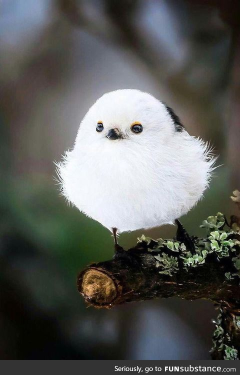 Cutest bird ever....The Japanese Long-Tailed Tit <3