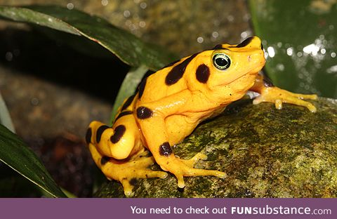 Froggo Fren #83 - Panamanian Golden Frog