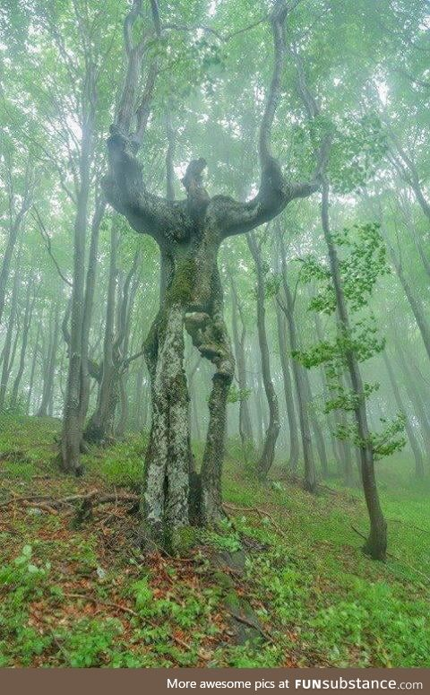 The Spirit of the Forest - this beautiful tree is found in Bulgaria