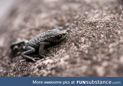 Froggo Fren #84 - Pebble Toad