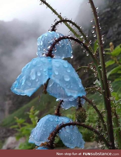 Himalayan blue poppies.