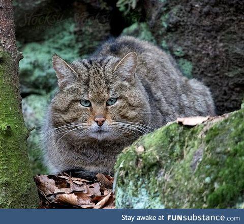 European forest feline