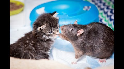 Cat Cafe Employs Rats for their Kittens (FeelGoodSubstance)