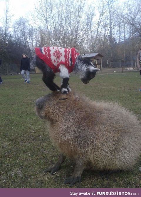 Capybara are examples of patience