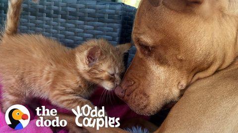 Rue the kitten and Bubba the pitbull