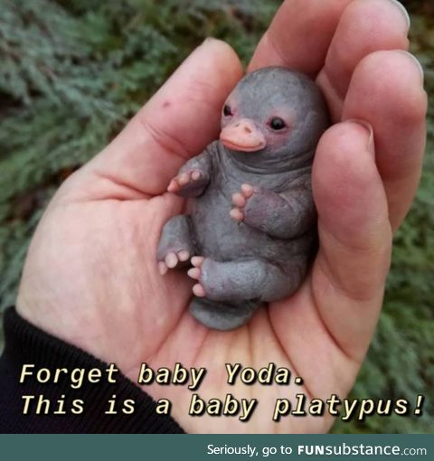 Baby platypus is love