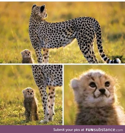 The absolute cutest Cheetah cub ever
