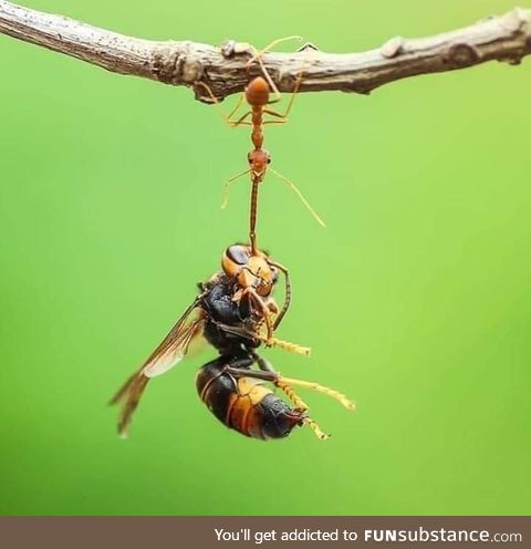 An ant lifting 100 times her weight