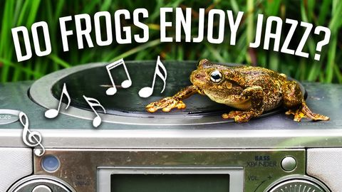Attracting frogs with smooth jazz