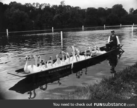 Swans were free in most parks, circa 1950