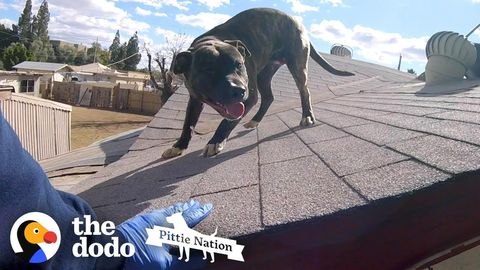 Pit Bull Rescued from a rooftop (FeelGoodSubstance)