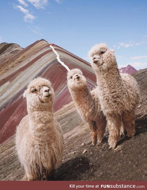 The Llama crew from Pperu