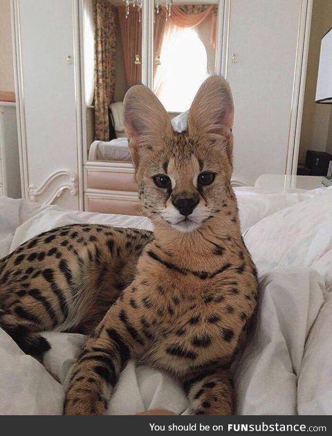 Savannah Cats are amazing