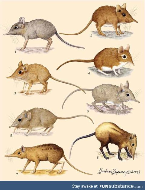 Elephant shrews native to Africa
