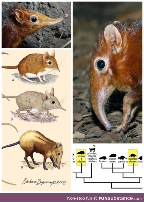 More elephant shrew, and why they are called as such