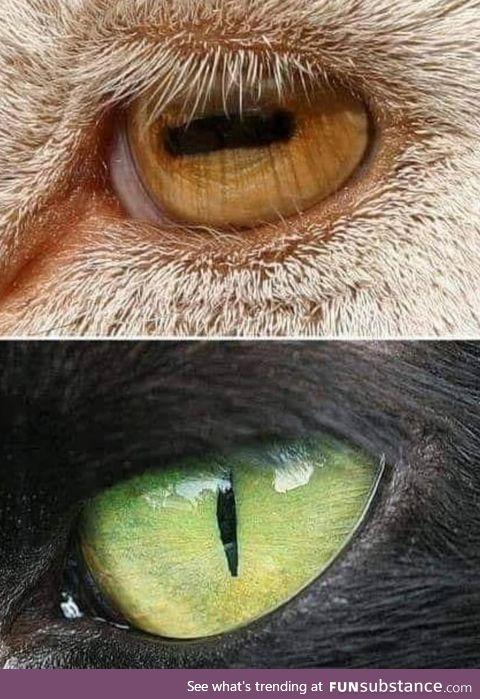 Prey has a horizontal slit as an iris to scan the horizon better and a predator has a