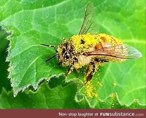 Pollen drunk