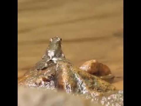 Froggo Fren #108 - Kottigehar Dancing Frog