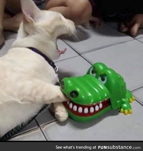 Cat get eaten by alligator