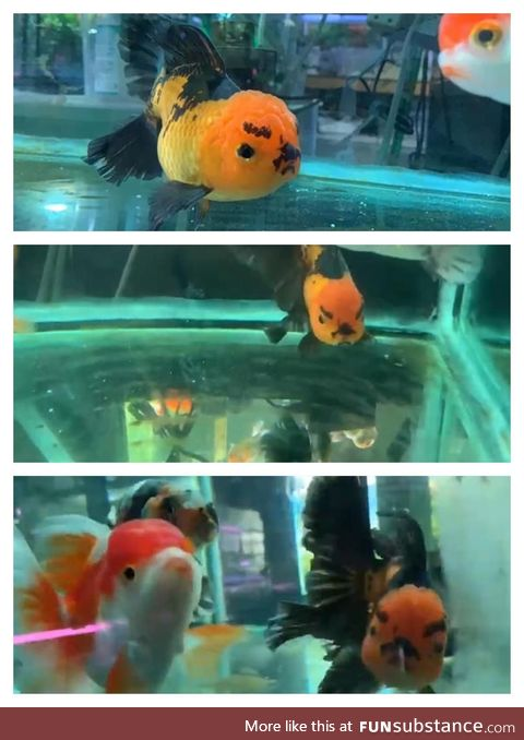 An angry fish