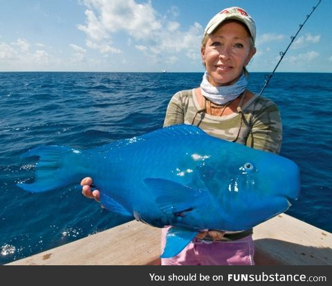 Fishy Fun Day #14: Special Edition, Blue Parrotfish