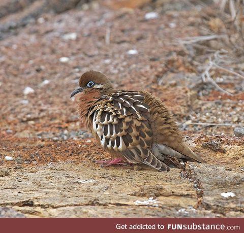 Galápagos dove (Zenaida galapagoensis) - PigeonSubstance