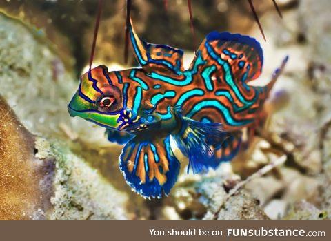 Fishy Fun Day #15: Mandarinfish @mialinay