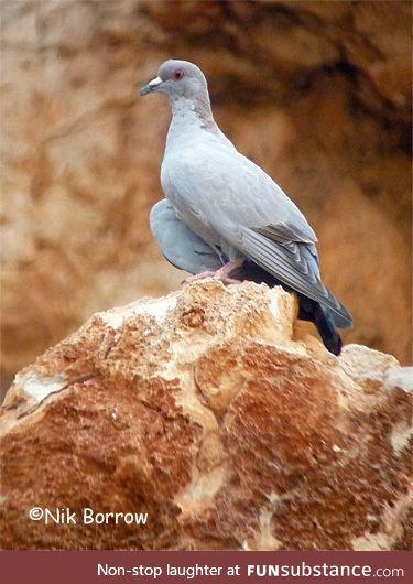Somali pigeon (Columba oliviae) - PigeonSubstance