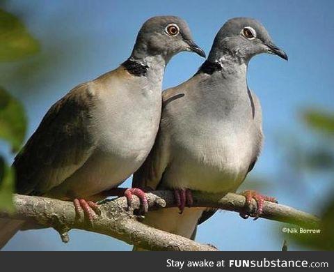 White-winged collared dove (Streptopelia reichenowi) - PigeonSubstance