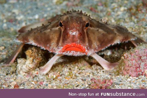 Fishy Fun Day #18: Red-Lipped Batfish @SuperDave