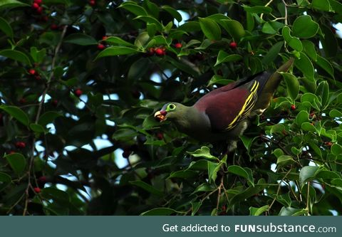 Thick-billed green pigeon (Treron curvirostra) - PigeonSubstance